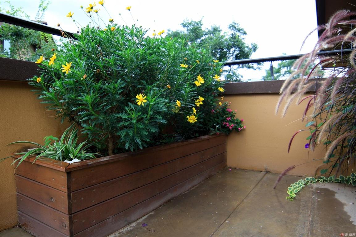 黄金菊虽然普通,但是在花园的小空间中却非常耀眼!