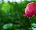 花卉,特写,露珠,实景图,春季,春天,一朵玫瑰花骨朵