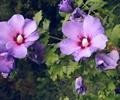 紫色花朵,一株花卉植物,特写,夏季