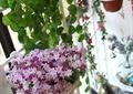 吊篮,植物