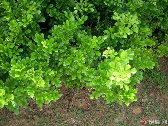 景观植物米兰