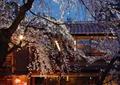 观花乔木,樱花,庭院景观