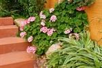 天竺葵在花园中具有很好的装点效果