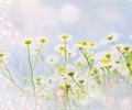 花卉,特写,白色花朵