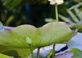 荷花,植物